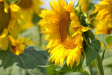 Sunflower on a hot day