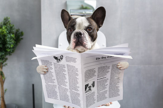 French bulldog sitting on a toilet seat with the newspaper