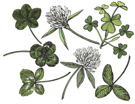 Clover set. Isolated wild plant and leaves on white background. Herbal engraved style illustration. Detailed botanical sketch. A set of clover leaves - four-leafed and trefoil.