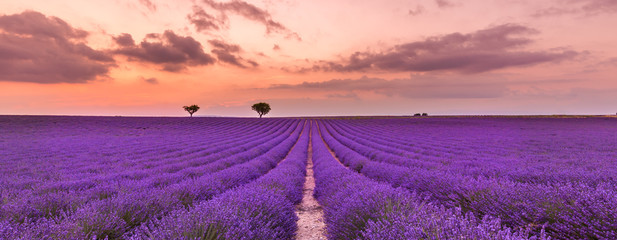 Photo sur Aluminium Prune Violet lavender bushes. Beautiful colors purple lavender fields near Valensole, Provence in France, Europe