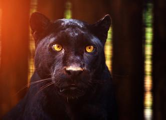 Poster Panther Beautiful black Panther