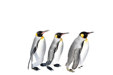 emperor penguin parade on white background