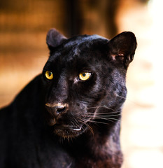Zelfklevend Fotobehang Luipaard Beautiful black Panther