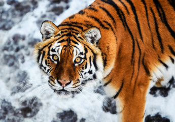 Wall Mural - Beautiful Amur tiger on snow. Tiger in winter. Wildlife scene with danger animal.