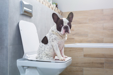 Poster Bouledogue français French bulldog sitting on a toilet seat in bathroom