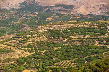olive plantation on the Crete,Greece