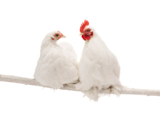 male and female white hen isolated