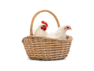 male and female white hen in the basket