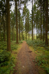 Forst path in the green and dark pine forest Ardennes