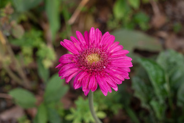 Beaufiful pink gerbera flower blooming in the garden on nature background.