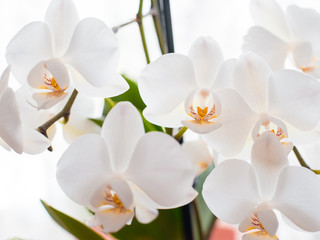 White orchid isolated on white blurred background. Soft lovely flowers are seen in an artistic composition, Phalaenopsis flower