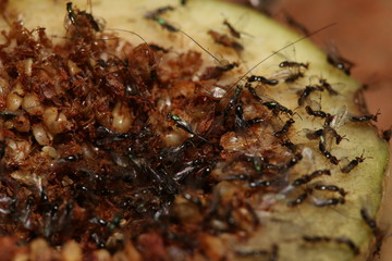 Fig wasps on a close up picture. These insects spend the larval stage inside figs.