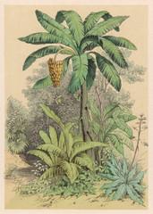 Banana Tree 1880