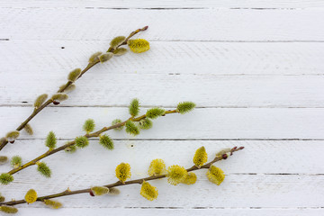 sprigs of flowering willow on white wooden background with copy space, spring Easter concept