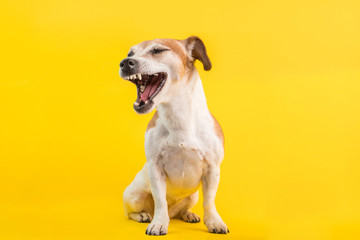 Cool dog with an open mouth screams turned away in disgust judging emotions. Yellow bright background