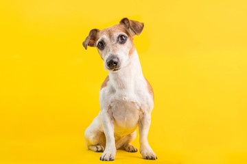 Adorable dog portrait in full lenght on yellow background