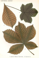 Horse Chestnut, Sycamore