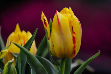 Close-up of red-yellow tulip flower in the spring garden