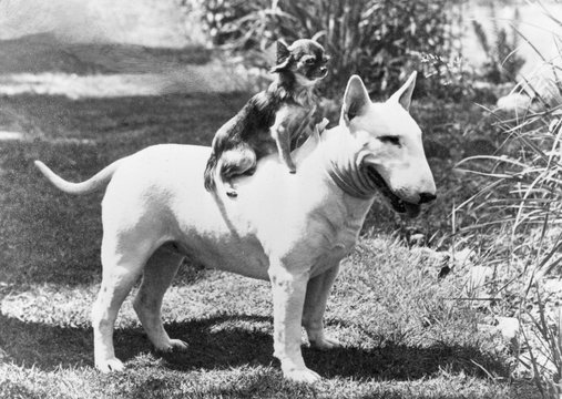 Bull Terrier Chihuahua