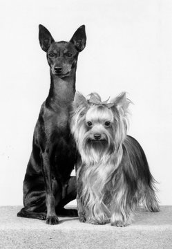 Toy Terrier and Yorkie