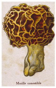 Funghi Morchella Edible