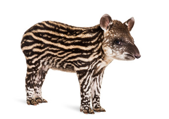 Wall Mural - Month old Brazilian tapir standing in front of white background