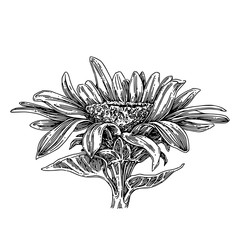 Sunflower head. Sketch. Engraving style. Vector illustration.
