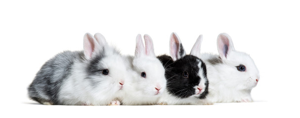 Four young rabbits, 8 weeks old, in a row in front of white back