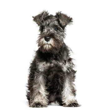 Miniature Schnauzer, 3 months old, sitting in front of white bac