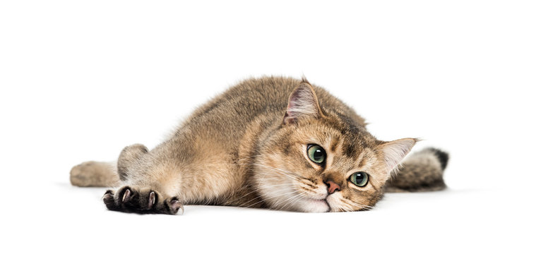 British Shorthair, 1 year old, stretching his Claws lying in fro
