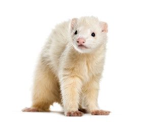 Ferret, 1 year old, in front of white background