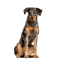 Fototapete - Beauceron, 15 months old, sitting in front of white background