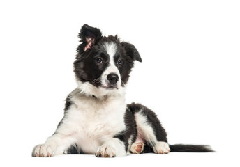 Border Collie, 3 months old, lying in front of white background