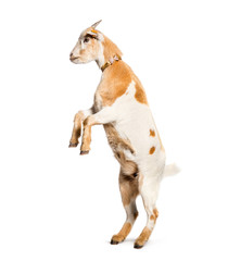 Goat on hind legs in front of white background