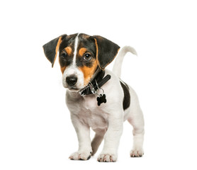 Jack Russell Terrier, 2 months old, in front of white background