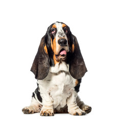 Basset Hound sitting in front of white background
