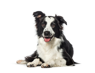 Border Collie lying in front of white background