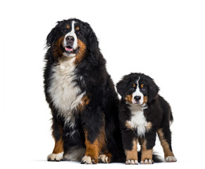Bernese Mountain Dog, 8 years old and 3 months old, sitting in f