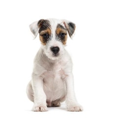 Parson Russell Terrier, 2 months old, sitting in front of white