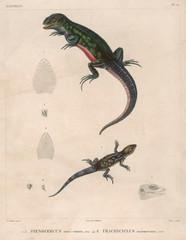 Two Lizard Species