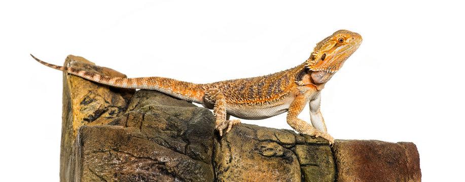 Bearded Dragon, Pogona vitticeps, on rock in front of white back