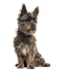 Cairn Terrier sitting in front of white background