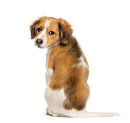 Kooikerhondje, 3 months old, sitting in front of white backgroun