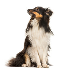 Shetland Sheepdog, 10 months old, sitting in front of white back