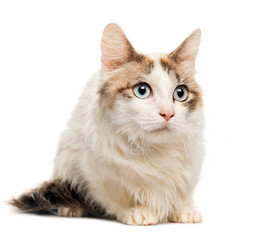Maine Coon lying in front of white background