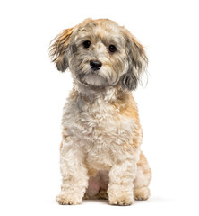 Havanese dog sitting in front of white background
