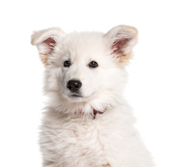 Berger Blanc Suisse, 5 months old, in front of white background