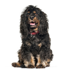 Cavalier King Charles Spaniel sitting in front of white backgrou