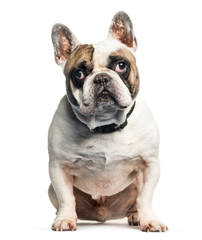 French Bulldog sitting in front of white background