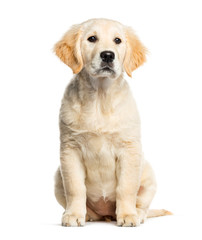 Golden Retriever, 3 months old, sitting in front of white backgr